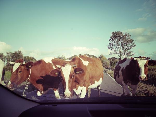 Die verkannte Impertinenz der Kühe