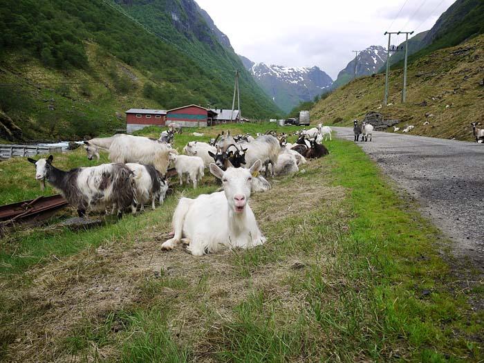 Endlich! Die Ziegen!