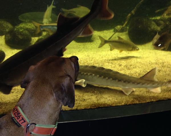 Der moderne Hund im Museum. Fische gucken statt fressen.