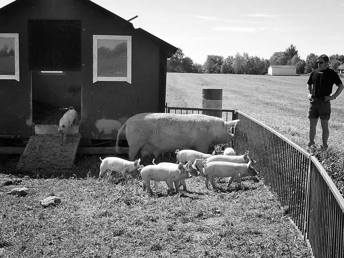 Schwedische Schweine mit Eigenheim