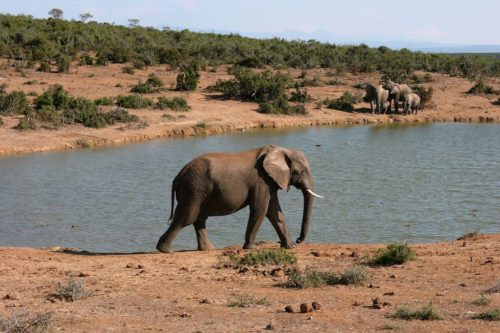 Elefant, Südafrika