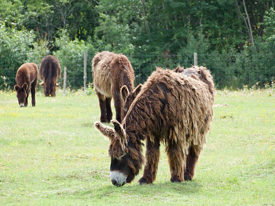 Poitou-Esel in der Arche Warder
