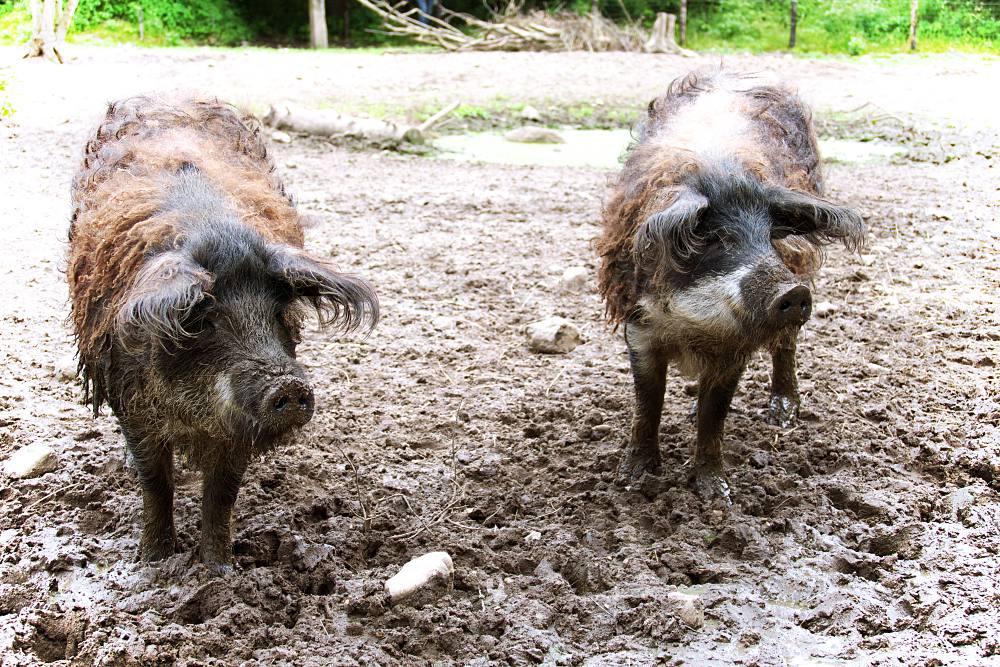 Schweine in der Arche Warder
