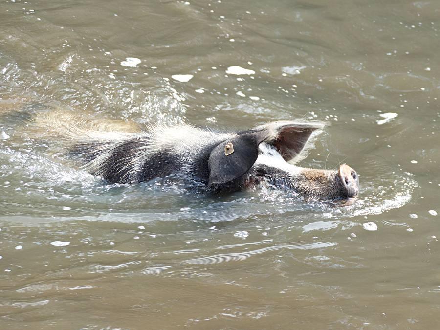 Schwimmendes Turopolje Schwein