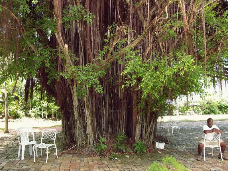 Bärtiger Feigenbaum, Sunbury Plantation