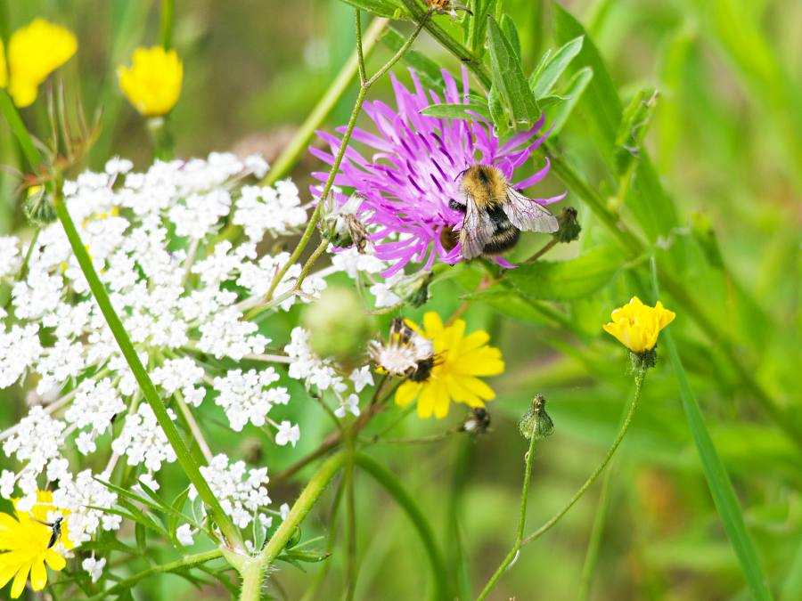 Blumenwiese mit Biene