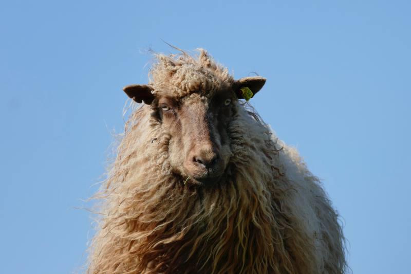 Norsk Spaelsau, norwegisches Schaf
