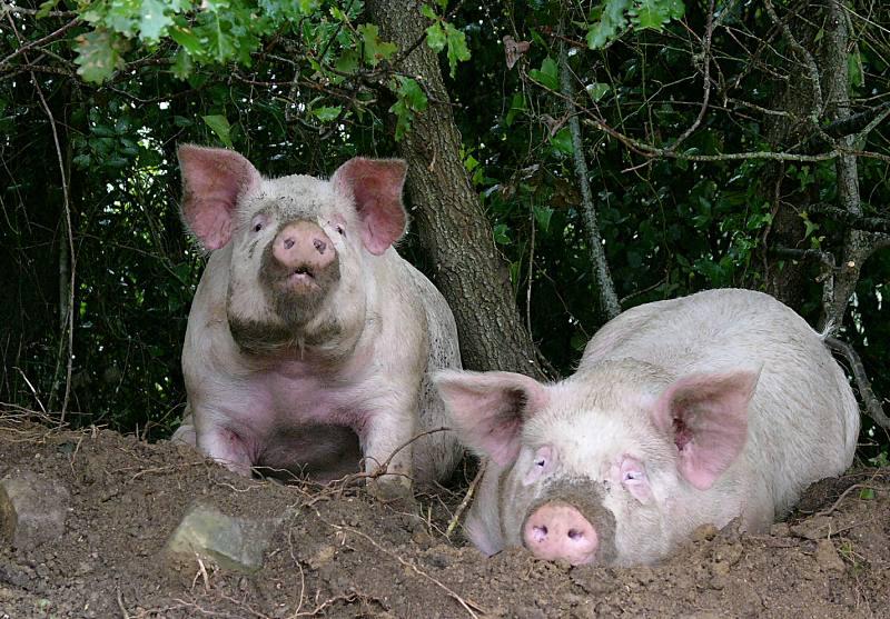Schweine am Bosena-See