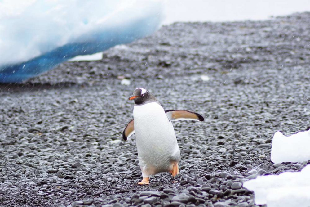 Eselspinguin, Brown Bluff