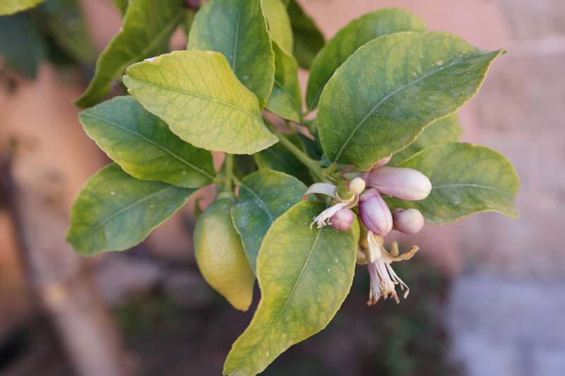Zitronenblütenduft liegt in der Luft.