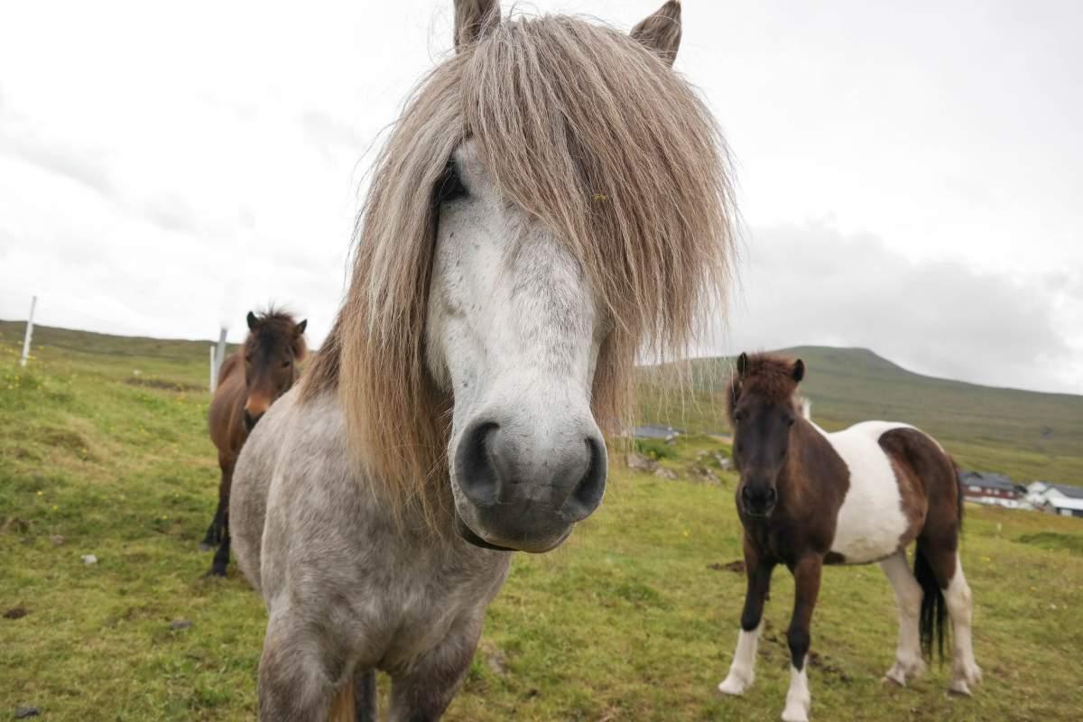 Ponys auf den Färöer Inseln