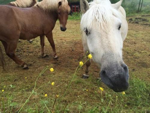 Pferde in Kirkjubøur