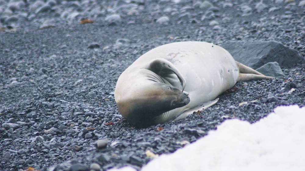 Robbe auf Half Moon Island