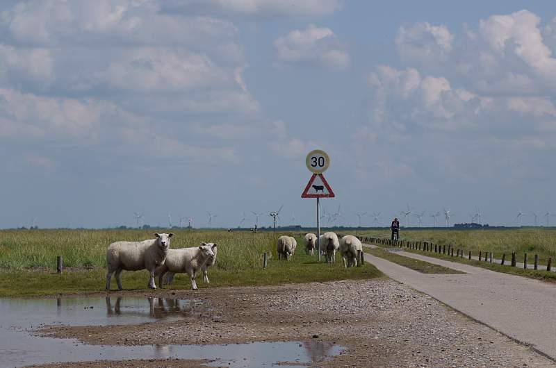 Freilaufende Schafe überall