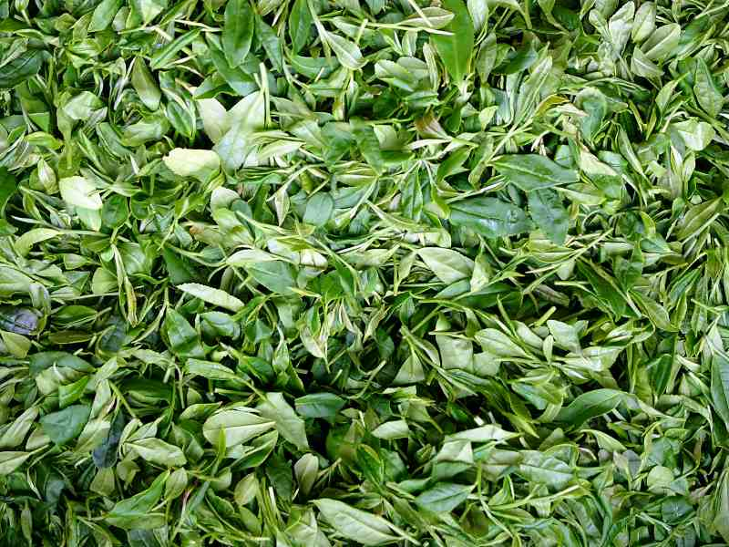 Longjing-Tee