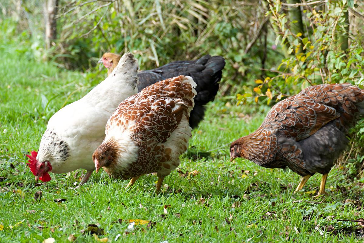 Hühner im Herbst im Garten