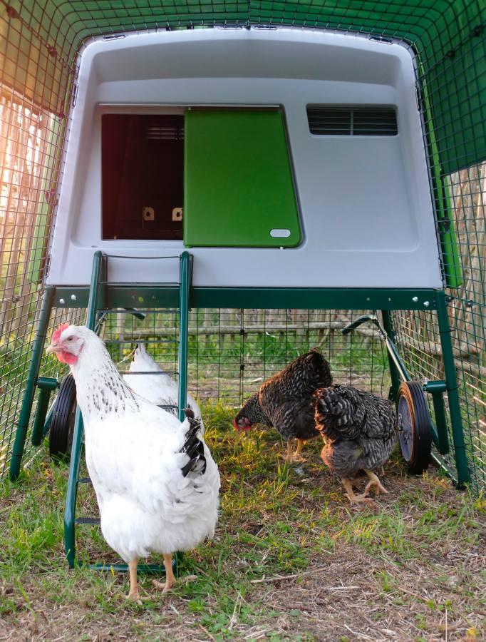 Hennen allein zu Hause