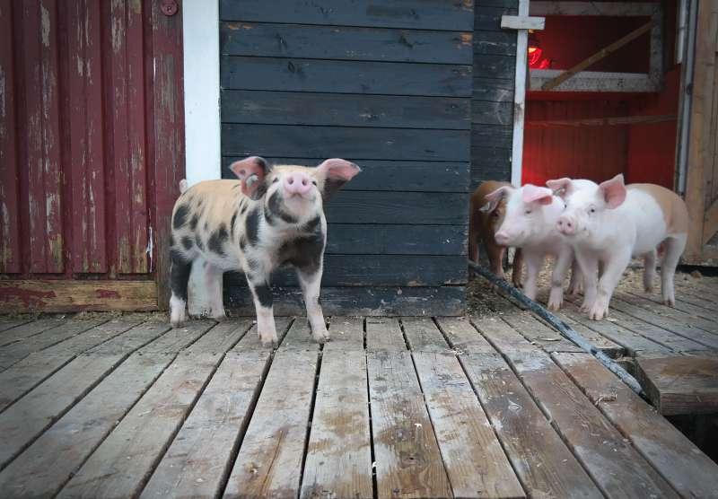 Glückliche Schweine in Hraunsnef
