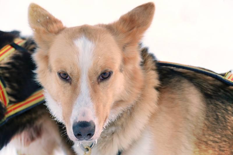 Schlittenhund Lara, Jakobsbakken