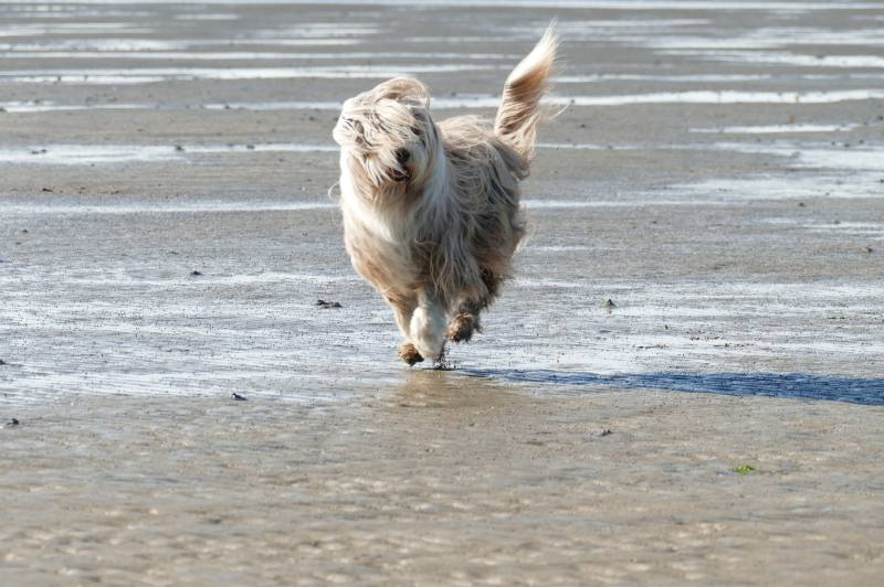 Bearded Collie am Strand