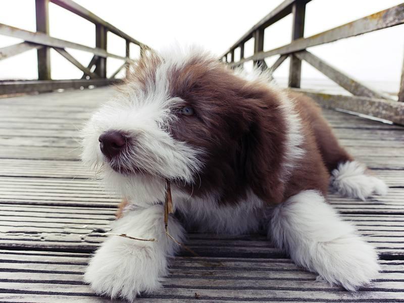 Beardie auf Seebrücke