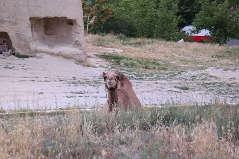 Lockvogel, bzw. -Kamel