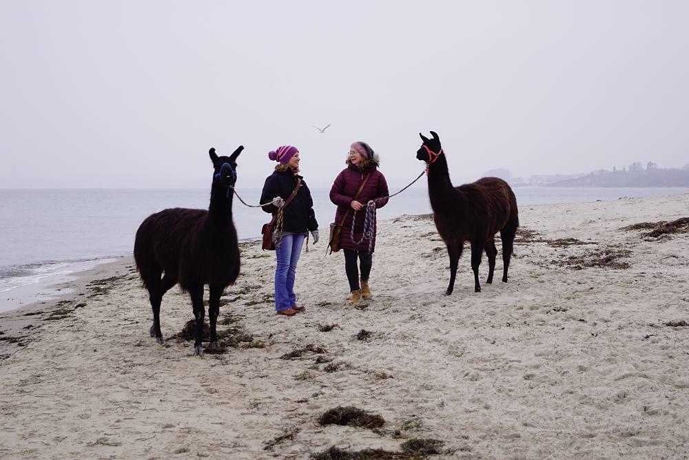 Lamas an der Ostsee