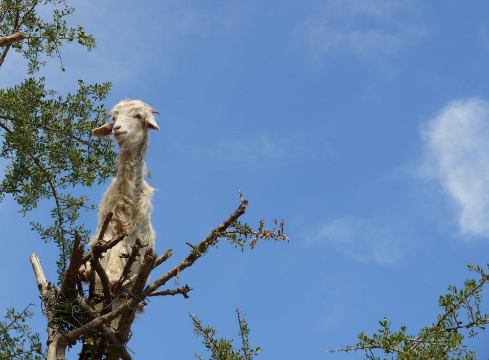 Ziege auf Arganbaum