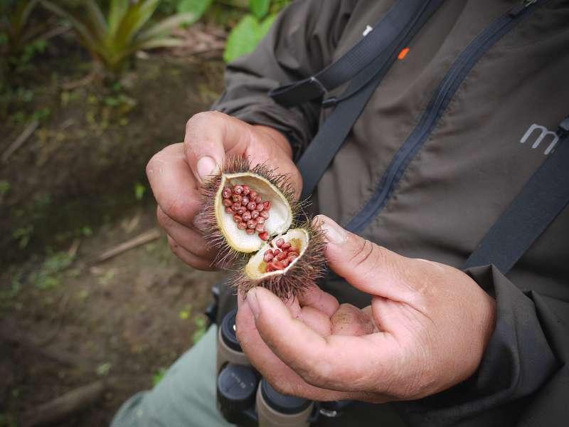 Die roten Samen der Achiote