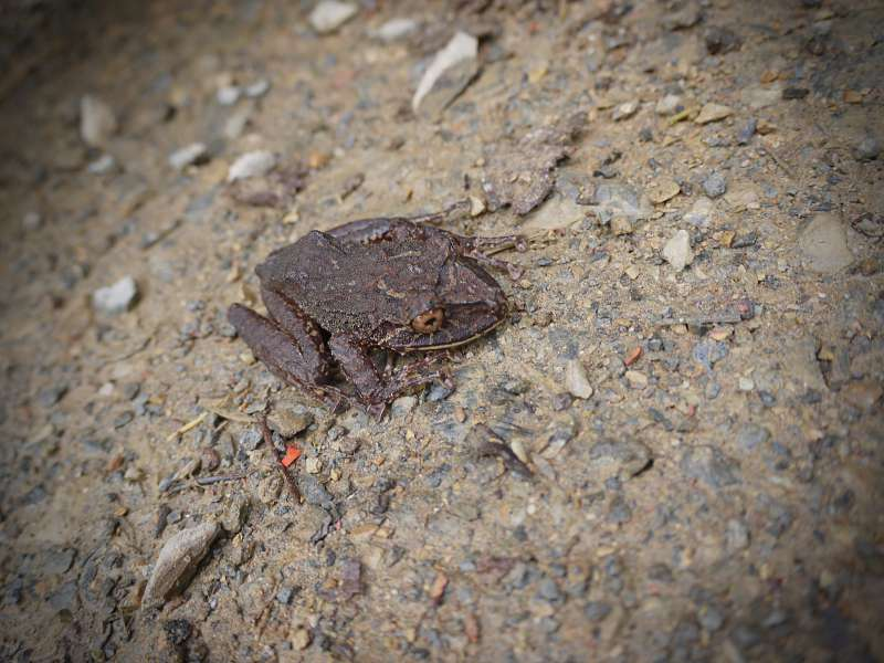Frosch auf dem Weg