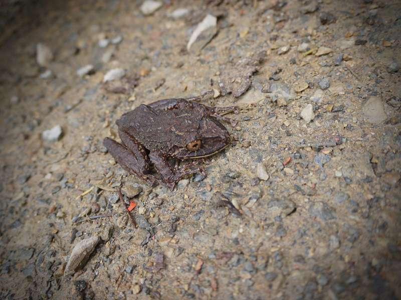 Frosch in Mashpi