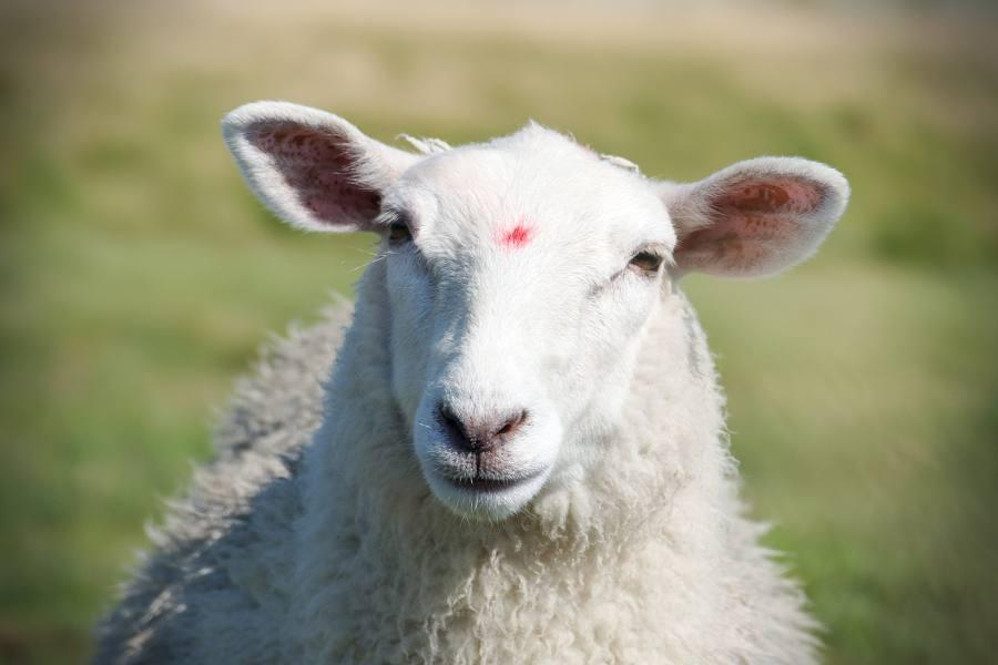 Schaf auf Hallig Langeneß