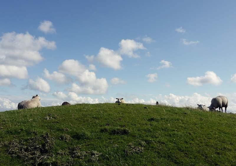Schaf-Siesta