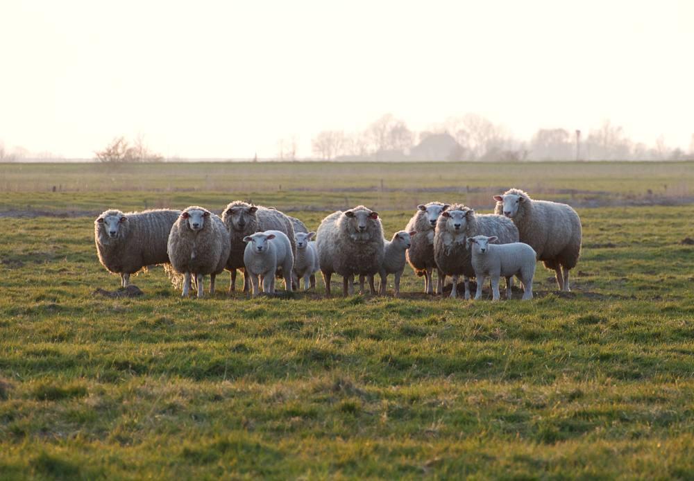 Schafe und Lämmer im Frühling