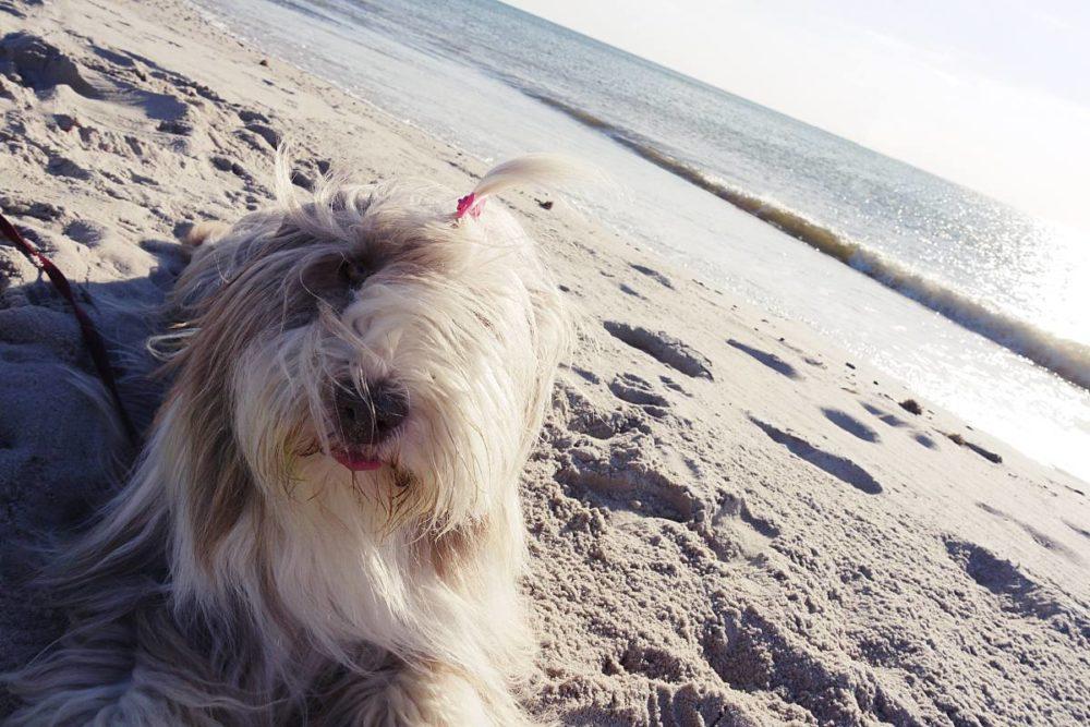 Beardie am Strand