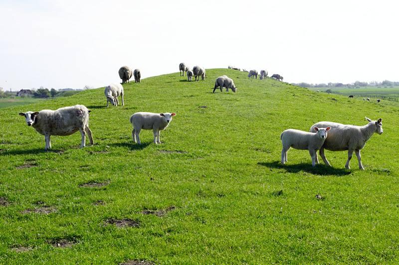Schafe auf Deich