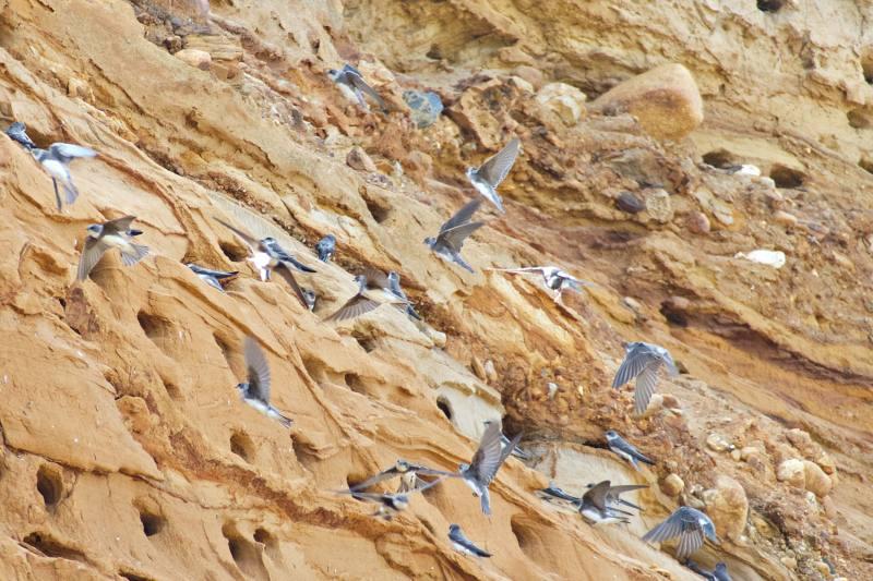 Uferschwalben am Morsum Kliff