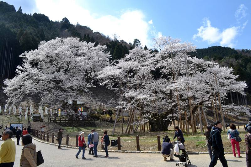 Kirschblüte Usuzumi-zakura © Jiji Press